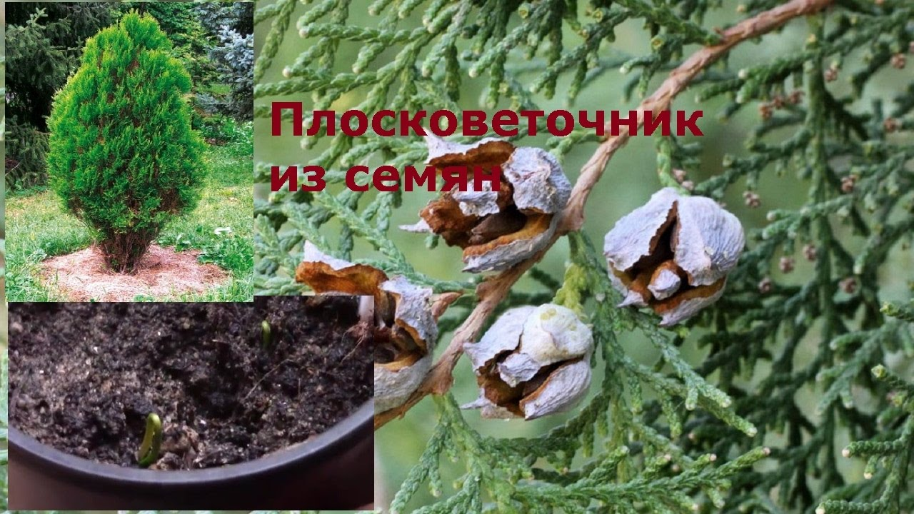 Туя семенами в домашних условиях