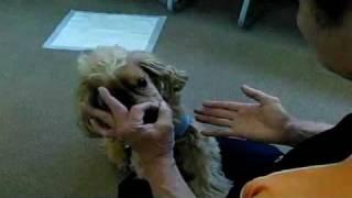 イングリッシュコッカースパニエルのコナン わんわん動物園犬の学校の人...