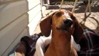 Lincoln The Dachshund Explaining His Frustration After Ivdd Surgery