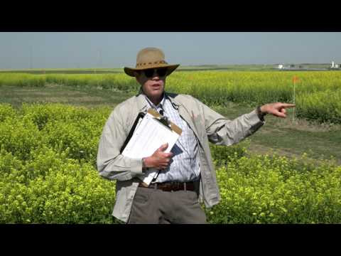 How Much Do You Know About Mustard? Varieties and Agronomy - Farming Smarter