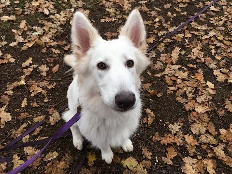 Chiara - German Shepherd - 5 Weeks Residential Dog Training