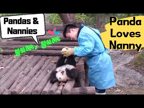 Panda Cubs' Life with Zookeepers | iPanda