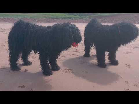 Puli Puppy Sisters - Pici + Emmy - Beachdogs!