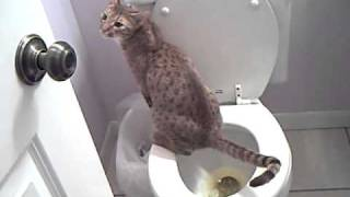 Gomez Ocicat - Potty-Trained Toilet Training Cat