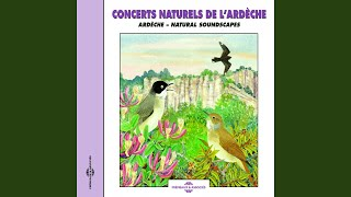 Hypolais Polyglotte (Melodious Warbler)