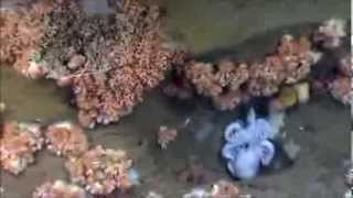 Deep Ocean Voyages Of The NOAA Ship Okeanos Explorer Part 2  Northeast U S  Canyons Expedition 2013