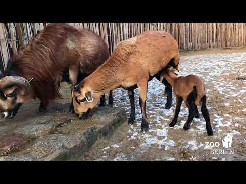 Nachwuchs bei den Kamerunschafen - Little Cameroon sheep lamb