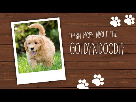 Goldendoodle Puppies For Sale Available In Phoenix