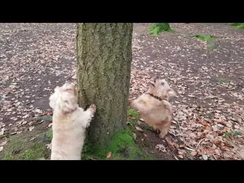 Two cute  Norfolk Terriers barking up the right tree!