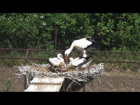 Белый и дальневосточный аисты - Птицы России - Фильм 53 (Ciconia)