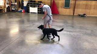Felicia von Prufenpuden 5 Mo's Black Obedience Protection Trained German Shepherd For Sale