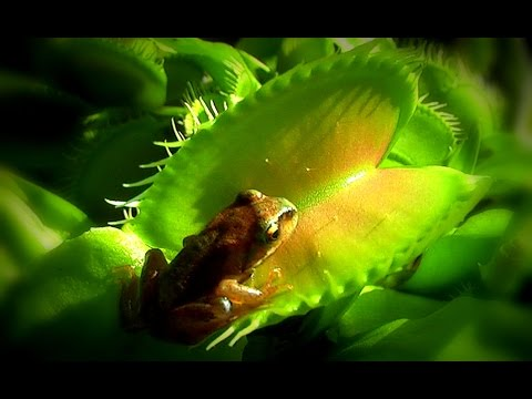 Venus frogtrap / Venus flytrap - Venusfliegenfalle