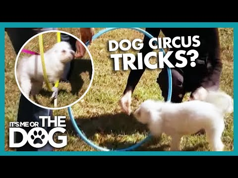 How To Teach Your Dog To Do Circus Tricks | It's Me Or The Dog