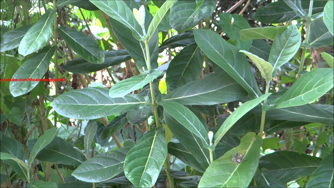 Calotropis Gigantea White Madar Crown Flower Plant Youtube
