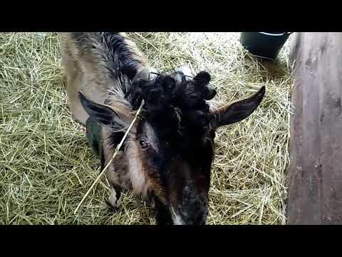 Грибок у коз.  Лечимся.