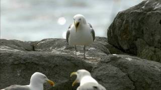 How Nature Works: Gull Territoriality