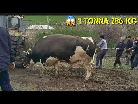 MANA DAXSHAT BUQA  1 286 kg JIZZAXLIK AKALARDAN BUQANI ZORI