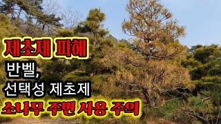 조형소나무2110편(제초제피해사례)