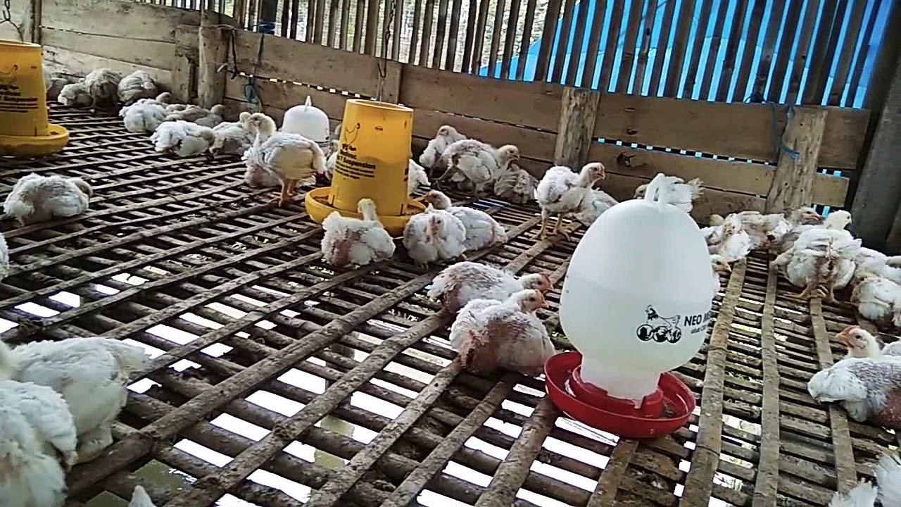 Ayam broiler Umur 24 hari - YouTube
