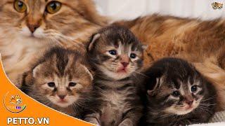 Cách Chăm Sóc Mèo Con 1 đến 2 tháng tuổi - Petto TV