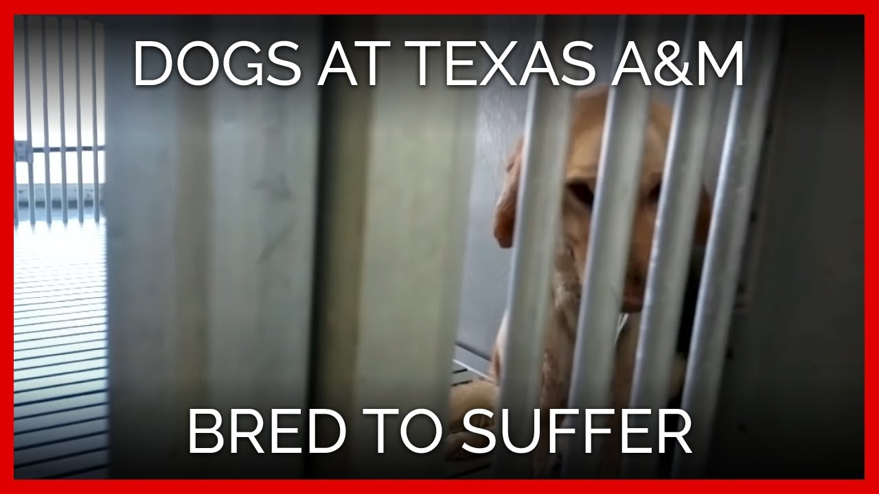 dogs-at-texas-a-bred-to-suffer