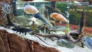 Black gar, arapaima leptosoma, crenicichla feeding time