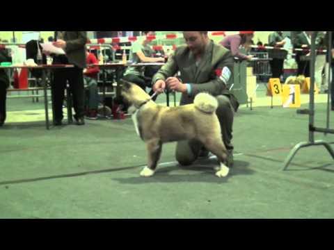 "First show for Sondaisa Born To Wynn ""Dasher"" American akita Dog Show"
