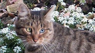 Кошка с разноцветными глазами!