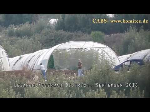 The sad fate of swallows in Lebanon - CABS & SPNL video