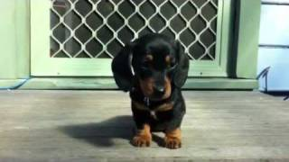 Dachshund Puppy Faces It Fear Of Heights