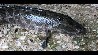 [목포 가물치] 일명 뱀대가리 물고기!! 33년 달인의…
