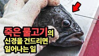 [ENGSUB] 낚시로 잡은 생선의 이상적인 손질법(싱싱한 회를 위한 즉살과 신경 척수 마비)