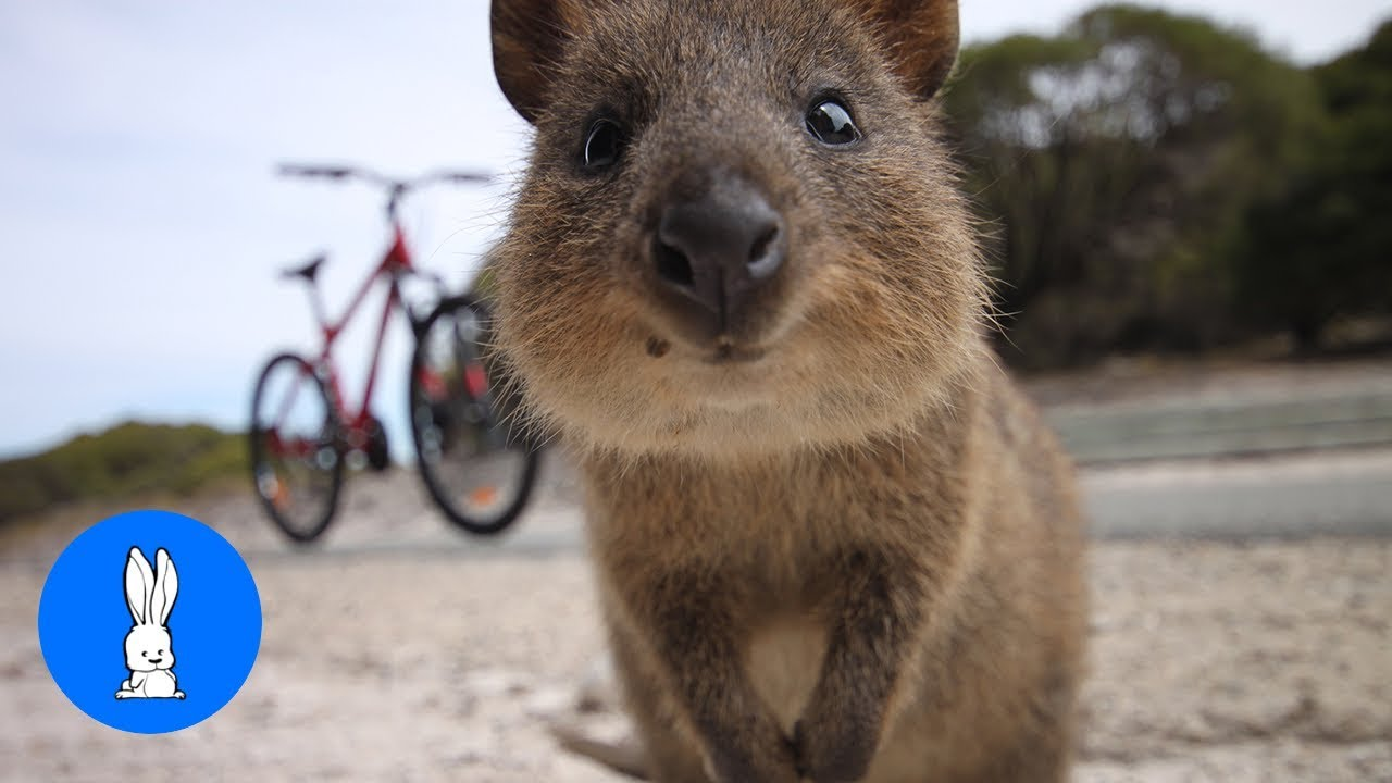 ULTIMATE Quokka Selfie Compilation - TRY NOT TO AWW! - YouTube