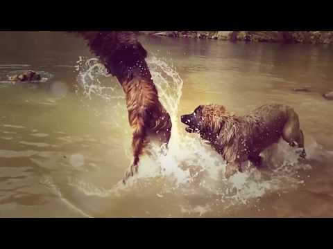 Leonberger Antics episode 109            #Leonberger #Dog