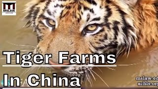 Tiger Farms in China - Breeding Monsters With No Use In Conservation.