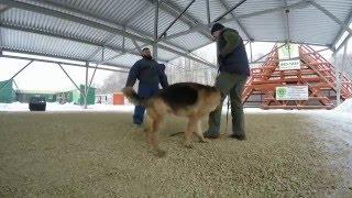Подготовка собак-телохранителей, защитно-караульная служба(Защитно-караульная служба, немецкая овчарка