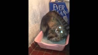 кот пробует варианты использования лотка