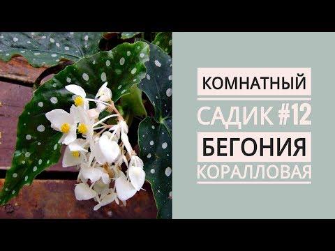 Комнатный садик #12. БЕГОНИЯ КОРАЛЛОВАЯ. Посадка черенков