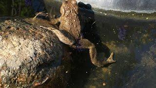Жаба серая земляная. Загородная жизнь.