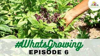 EP 06 | #WhatsGrowing in our Bell Garden [05.08.2020]