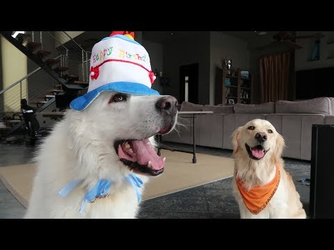 KODAS 4th BIRTHDAY! (Super Cooper Sunday #105)