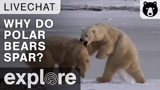 Why Do Polar Bears Spar? - Live Chat Highlight thumbnail