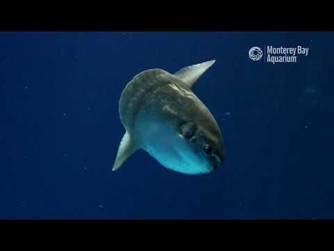 Ocean Sunfish in the Open Sea Exhibit