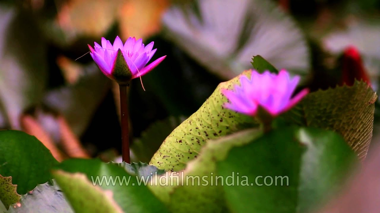 The Purple Flowered Nymphaea Nouchali Youtube