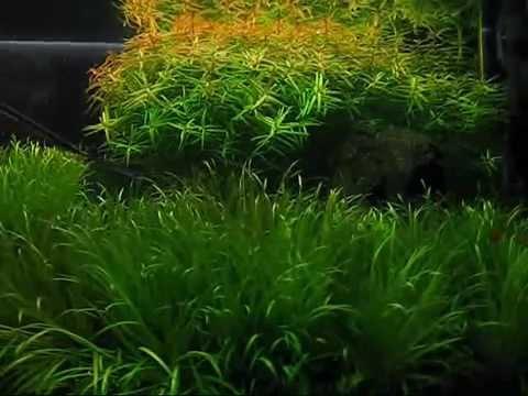 Trimming aquatic plant (didiplis diandra)