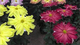 Kiku matsuri, Japanese chrysanthemum flower festival