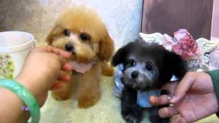 Tiny Teacup Poodle 897.915 - Teacup Poodle Toy Poodle Pocket Teacup Poodle
