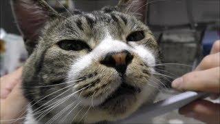 ねこじゃすりで夢心地になる猫の顔が怪しすぎて笑える☆パパの笑いで眠りを妨げられるリキちゃん☆どアップ変顔の猫【リキちゃんねる 猫動画】Cat video キジトラ猫との暮らし
