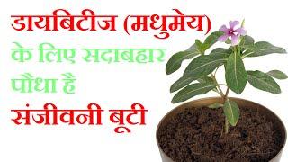 सदाबहार पौधा है डायबिटीज की संजीवनी बूटी | Sadabahar Plant Controls Diabetes in Hindi