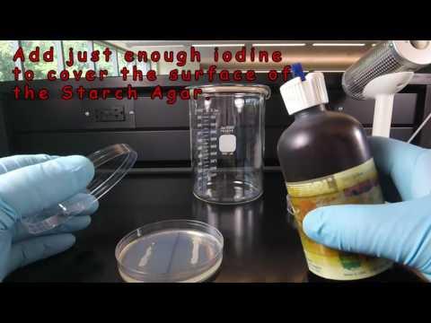 Starch Hydrolysis